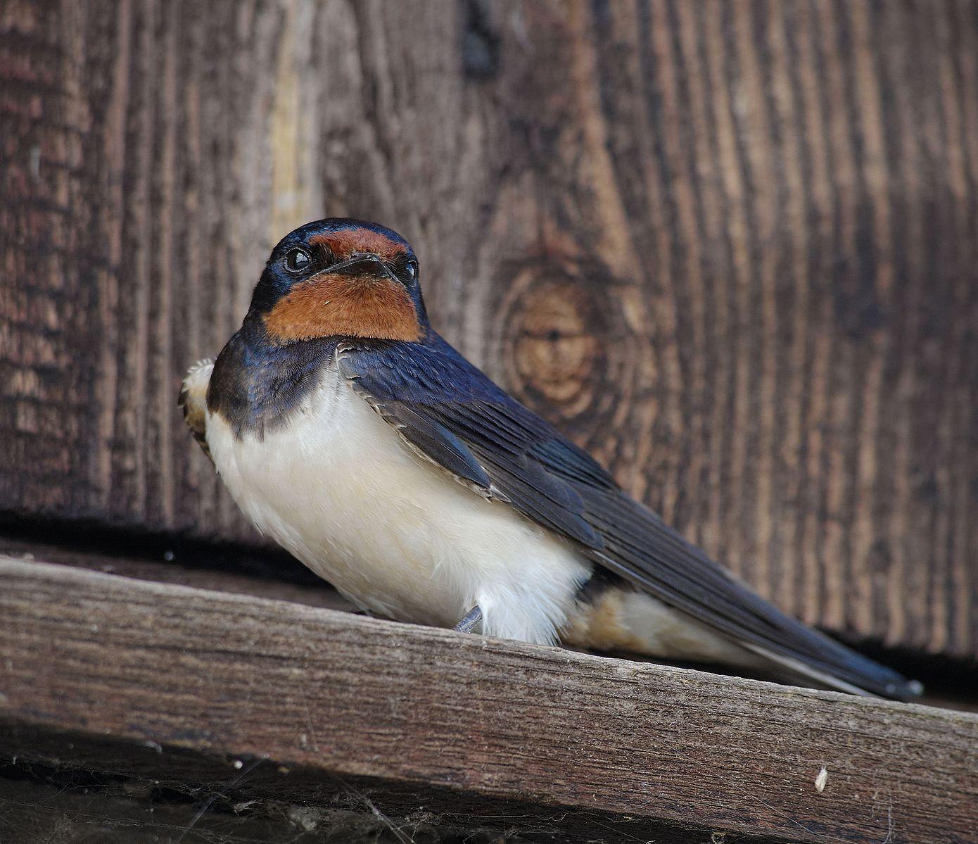Barn Swallow Control Macomb County MI - Michigan Bat ...