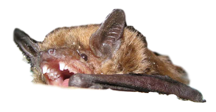 Michigan Brown Bat
