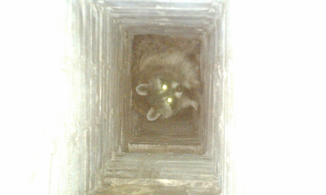 Raccoon Removal Mount Clemens Mi Michigan Bat Control Inc