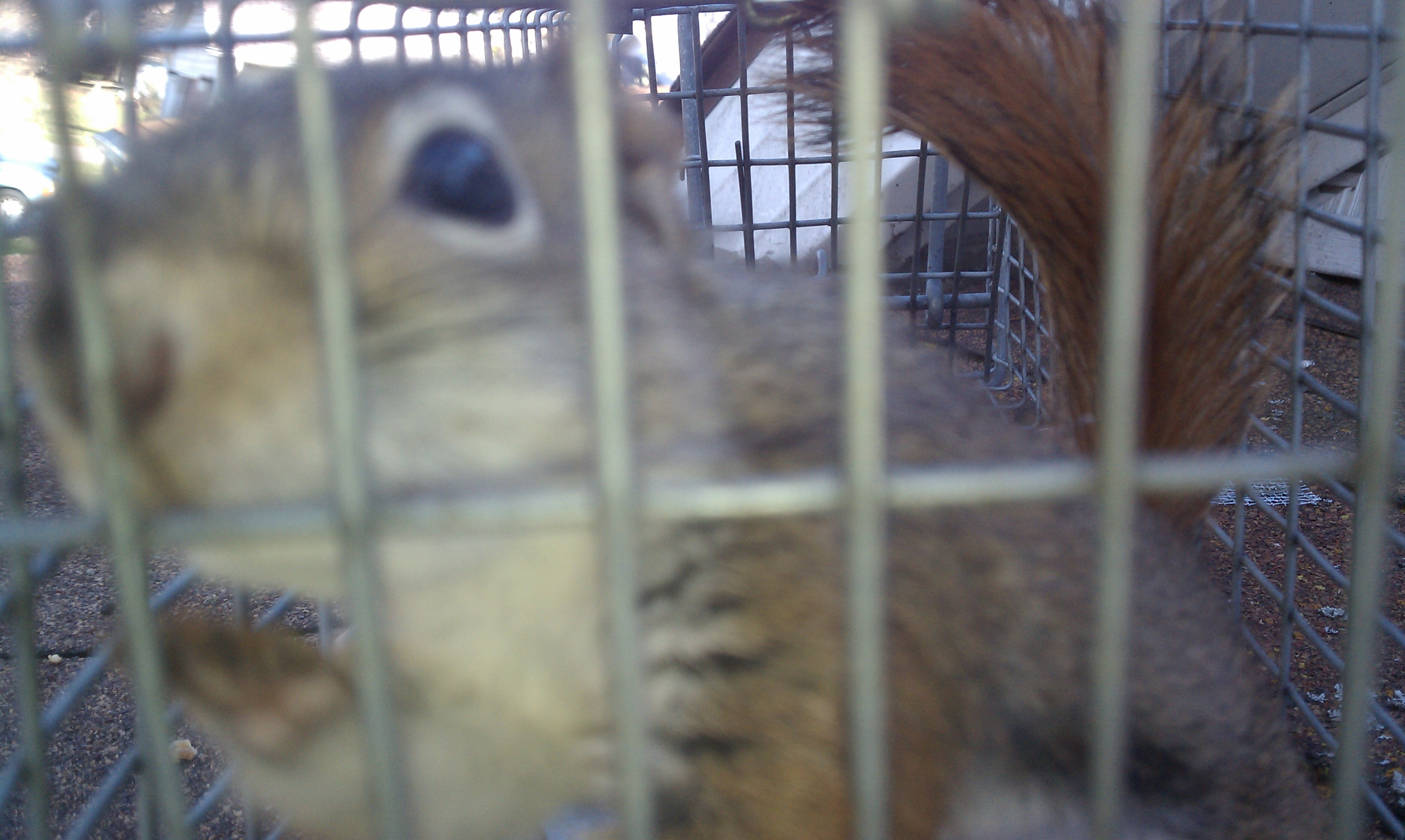 Trapped red squirrel