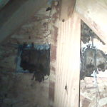 bats hanging on a wall in the attic