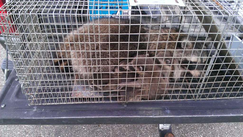 Raccoon and babies trapped