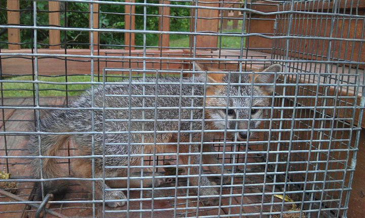 Grey Fox in a trap
