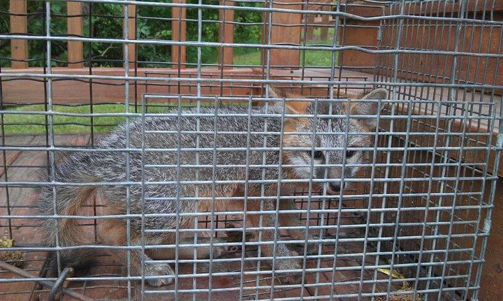 Grey Fox in a trap