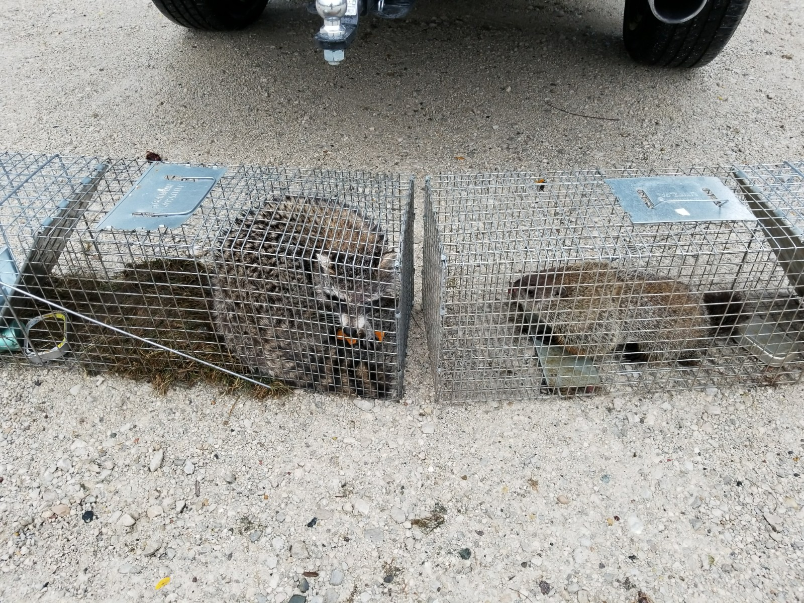 Raccoon and Groundhog in trap