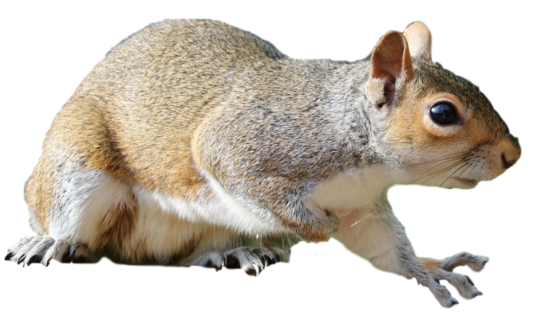 Squirrels in the Attic Scratching (2)