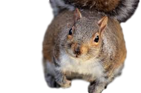 squirrel in the attic PNG
