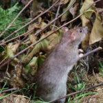 Rat Standing