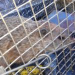 Groundhog in a trap