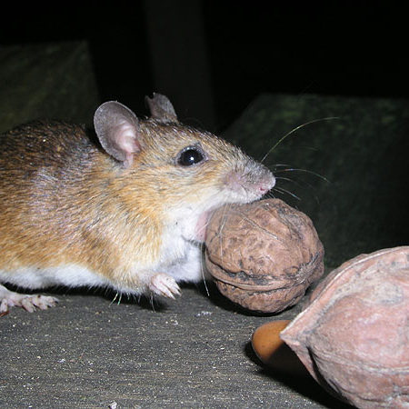mouse holding a nut